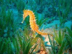 Caballito de mar junto a las plantas del lecho marino