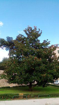 Magnolia grandiflora Zadar