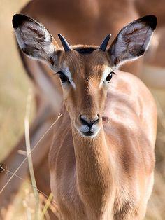 Juvenile Impala Buck