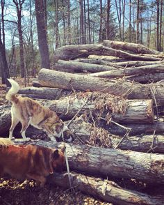 SO. MANY. LOGS!! This is #PAWESOME!!! #bigadventure #adventurepups #funwithsissy #funinthecountry #logpile #thebigclimb