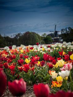 Tulips Keukenhof, Nederland