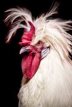 3 Best Egg Laying Chickens For Your Backyard – Chicken In The Shadows Laying Chickens, Fancy Chickens, Chickens And Roosters, Chickens Backyard, Chicken Painting, Chicken Art, Pretty Birds, Beautiful Birds, Farm Animals