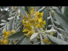 EL ÁRBOL DEL PARAÍSO en flor: Elaeagnus angustifolia (http://riomoros.blogspot.com.es/) - YouTube