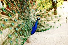 """And """"boom!"""", the peacock showed its feathers."""
