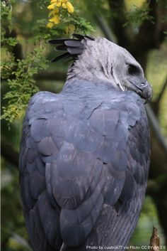 Harpy Eagles are some of the largest eagles! Weighing up to 20 pounds, these rainforest birds can have a wingspan of feet long, and their curved, powerful back talons are larger than a grizzly bear's claws. Beautiful Birds, Animals Beautiful, Cute Animals, Amphibians, Mammals, Araquem Alcantara, Rainforest Birds, Harpy Eagle, Interesting Animals