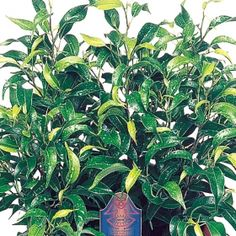 Dutch Treat Ficus- One of over 400+ varieties from Exotic Angel Plants®