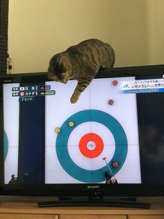 """ハルさんのツイート: """"ありがとう…カーリングのお手伝いはもう大丈夫だから…お願いテレビから離れてええええええ壊れるーーー(´°̥̥̥̥̥̥̥̥ω°̥̥̥̥̥̥̥̥`) 何度降ろしてもカーリングに参加したい猫…🥌🐈… """""""
