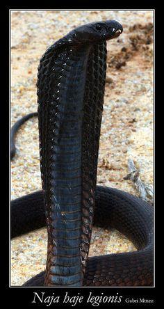 Naja haje --  Egyptian cobra