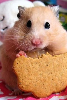 Cute hamster eating a cookie