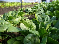 Recipes for our Veg of the Week - Spinach http://outdoorsy.gardenxl.com/2014/03/03/veg-of-the-week-spinach/