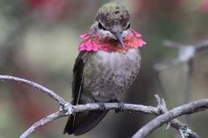 Angry Hummingbirds - Behavior and Aggression: Flaring the colorful throat feathers is one way hummingbirds can show anger.