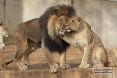 lion and lioness moment