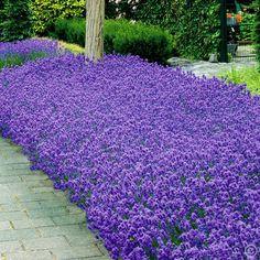 Lavender angustifolia Hidcote 7cm pot - 5 plants Buy online order yours now