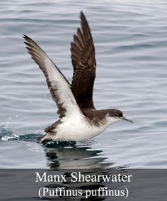 The Manx Shearwater is part of the Shearwater family and is extremely distinctive from his counterparts. It is a medium sized Shearwater and is 34 centimeters in length, with a wingspan of 81 to 86 centimeters. It is the coloring of the Manx Shearwater that makes them easy to identify. The upper body parts, such at the head, neck, back and the upper part of the wings, are gold in coloring and the plumage is brown to black. Their throats, bellies and under wing areas are white.