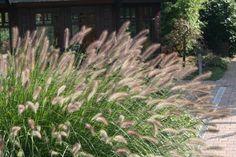 Pennisetum alopecuroides - Lampepoetsersgras