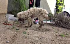 You won't believe your eyes after you see the transformation of the most recent Hope for Paws rescue, Alice. As with all their rescues, it all started with a call... More