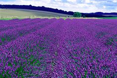 Snowshill Lavender fields