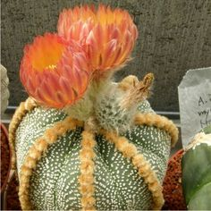 StarAstrophytum.com Brown Flowers, Love Flowers, Succulent Images, Cactus Flower, Cacti And Succulents, Bonsai, Photo Galleries, Aloe, Beauty
