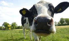 PA Groupon - Dairy-Farm Tour for Four or Eight at Kreider Farms (Up to 53% Off)