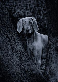 dog weimaraner puppy dogs