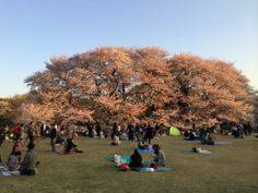 砧公園でお花見 2014 Cherry blossom viewing party at Kinuta Park 2014