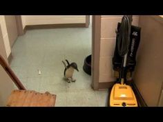 OH. MY. GOD. I need him. I want him. OMG.   Cookie the Peguin is tickled! (starts after 1:00)