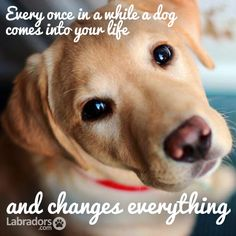 Labradors.com Fun Foto! Yes my bad boy Bandit changed everything :)