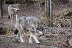 Fotos von Wölfen für den Einsatz auf der eigenen Webseite.
