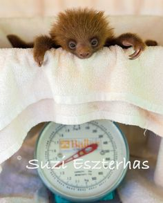 CUTE BABY SLOTH- 8 X 10 Print - Baby Animal Photography, Wildlife Photography, Nursery Wall Art, Safari Nursery Decor, Nature, Cute, Zoo  CUTE BABY SLOTH 8 X 10 Print  Baby Animal by WildBabies on Etsy, $24.00