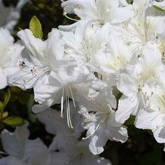 Azalea japonica 'White Lady' - Azalée japonaise adonis blanc