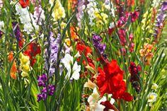 Bildergebnis für Gladiole