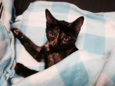 Petango.com – Meet Dickery, a 5 months 22 days Domestic Shorthair / Mix available for adoption in BROOKLYN, NY