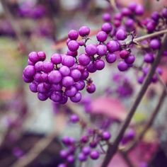 An absolute favourite at this time of year; giraldii 'Profusion' Plentiful clusters of bright purple berries from mid autumn - well deserving of the RHS Award of Garden Merit. Wholesale Nursery, Mid Autumn, Bright Purple, Autumn Garden, Garden Inspiration, Berries, Bury, Blackberry, Strawberries