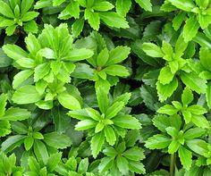 Die besten immergrünen Bodendecker - Mein schöner Garten