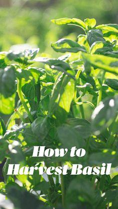 Diy Herb Garden, Lawn And Garden, Garden Plants, Herb Gardening, Garden Tips, Growing Gardens, Growing Herbs, Planting Vegetables, Growing Vegetables