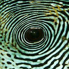 Eye of a Puffer fish