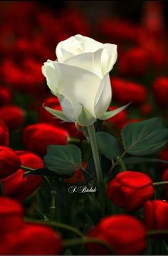 A white rose celebrates your life.the red roses are my memories. Beautiful Rose Flowers, Amazing Flowers, My Flower, Flower Power, Beautiful Flowers, White Rose Flower, Rosa Rose, Bloom, Flower Wallpaper