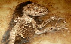 The 47 million year old fossilized remains of a primate is seen at the American Museum of Natural History in New York.