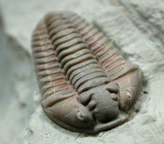 Flexicalymene meeki. 31 mm. Trilobita, Phacopida, Calymenidae. Ordovicien. Mount Orab, Ohio, USA. (550×487)