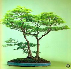 Bonsai galerij - Bonsai Empire