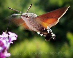 Hummingbird moth.  It took a few minutes to figure out what this was the first time I saw one on my flowers.