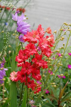 Larkspur 'Red Caroline':  red, perennial, up to 2', blooms mid summer to fall