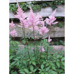 Astilbe arendsii 'Anita Pfeifer'. Prachtspirea. Zalm-roze bloeiend. Verbena, Geraniums, Plants, Plant, Planets