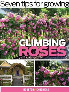 Garden Landscaping House Seven tips for growing climbing roses - Houston Chronicle.Garden Landscaping House Seven tips for growing climbing roses - Houston Chronicle Comment Planter Des Roses, Rose Garden Design, Rose Care, Rose Bush Care, Rose Vines, Growing Roses, Planting Roses, Garden Care, Garden Plants