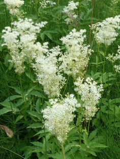 Meadowsweet (Älggräs) Latin name:  Filipendula ulmaria Swedish name: Älggräs.  Literally 'Elk grass'. Grows in damp places (marshes, fens, swamps, wet meadows, woods) Native to Europe and western Asia member of the Rose family fragrant it has been used to spice beer (mead) and for herbal tea contains salicylic acid (a pain killer, found in aspirin) used in midsummer and wedding celebrations