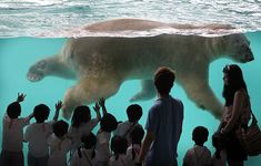 That's one big bear! Inuka, the polar bear born in the tropics, swims in his new enclosure at Singapore Zoo. Singapore Zoo, Visit Singapore, Arctic Habitat, Philippines, Polar Bears International, Pictures Of The Week, Bear Pictures, Natural World, Habitats