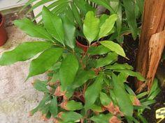 Planter des noyaux de litchis
