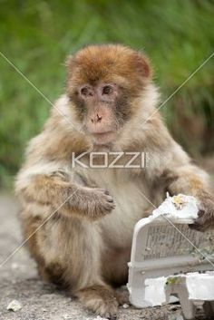 monkey with a broken nose - Macaque monkey with a broken nose plays with empty egg tray.
