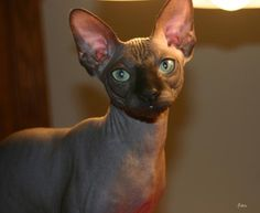 Sphinx Cat!! I have to have one. But only if it's a rescue.
