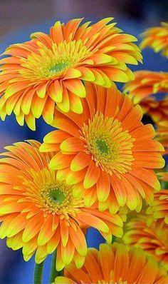 Yellow and orange flowers! Amazing Flowers, My Flower, Beautiful Flowers, Orange Flowers, Colorful Flowers, Margaritas Gerbera, Gerber Daisies, Mellow Yellow, Orange Yellow